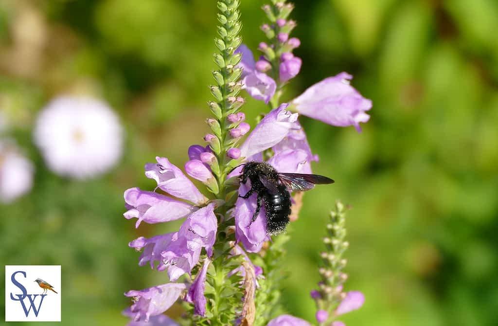 Naturgartenbuch von Sylvia Wentzlau - Foto Blaue Holzbiene