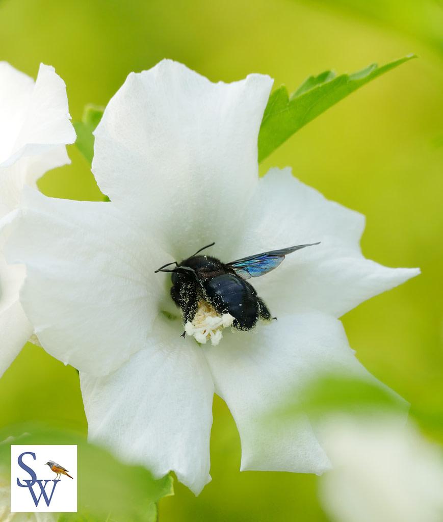 Blaue Holzbiene im Hibiskus
